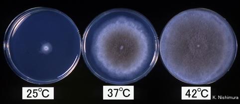 Rhizomucor Pusillus Colony