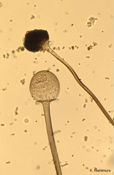rhizopus oryzae columellae